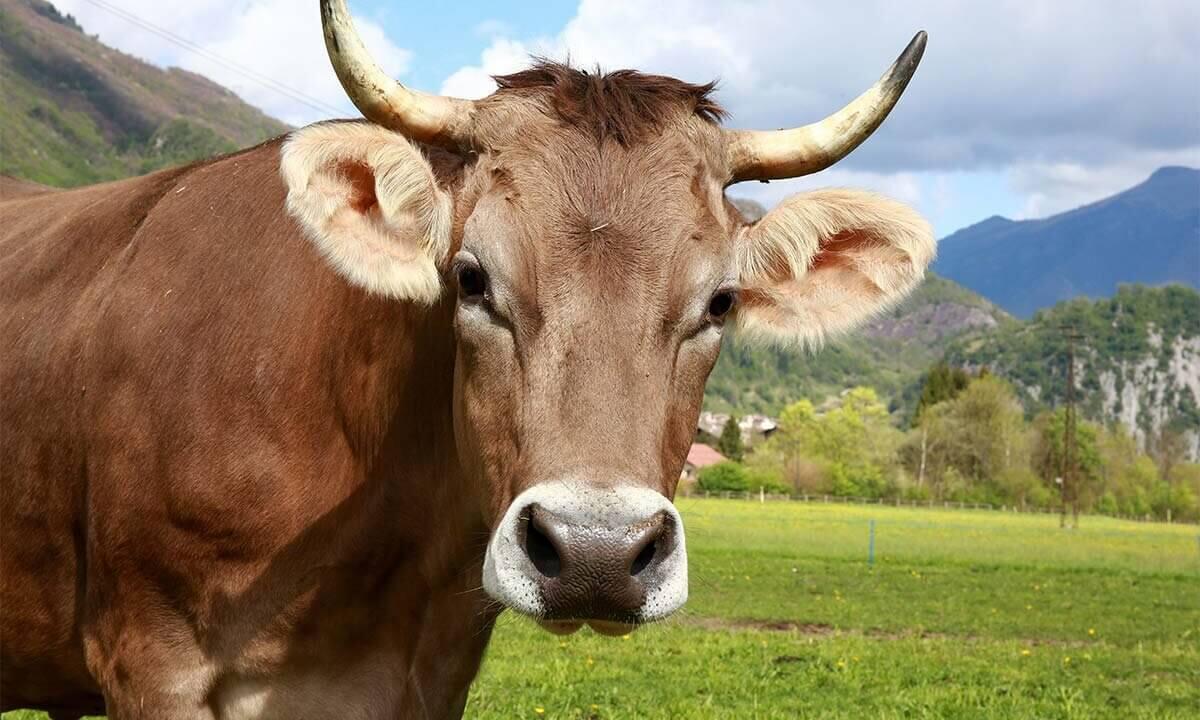 Kuh auf der Wiese