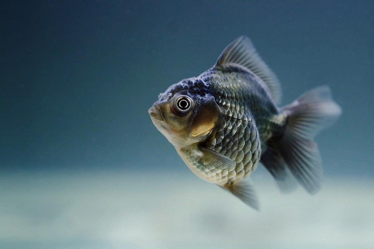 Leidvolle Fischhaltung in Restaurants und Kaufhäusern beenden!