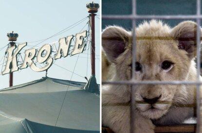 Collage Circus Krone Zelt und Loewenbaby vom Zirkus