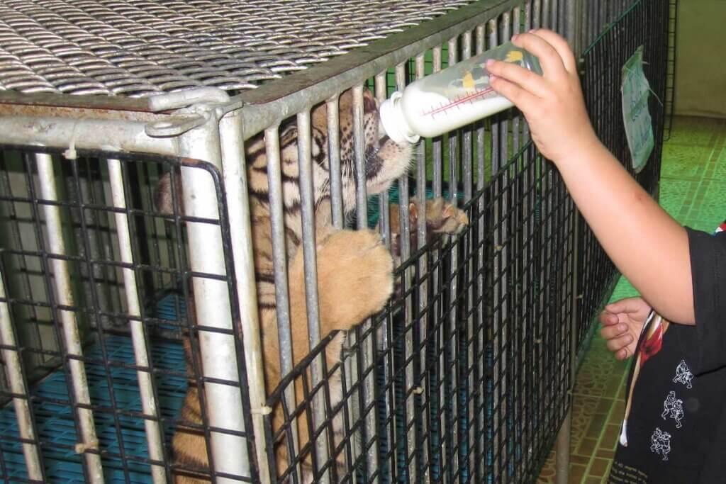 Kind fuettert Tigerbaby im Kaefig