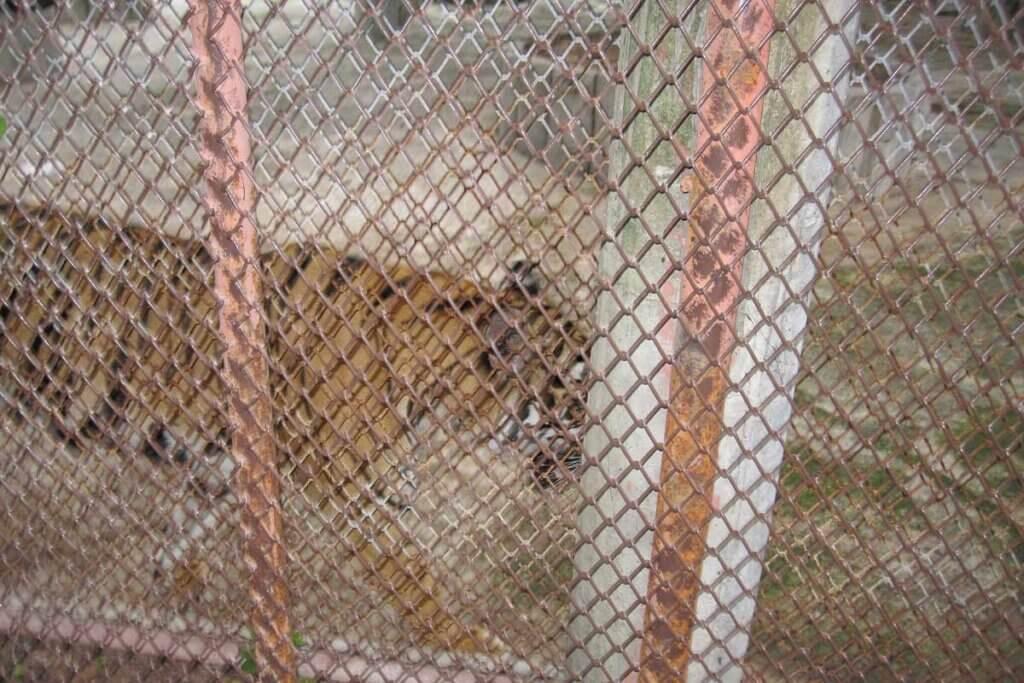 Tiger im Siracha Zoo