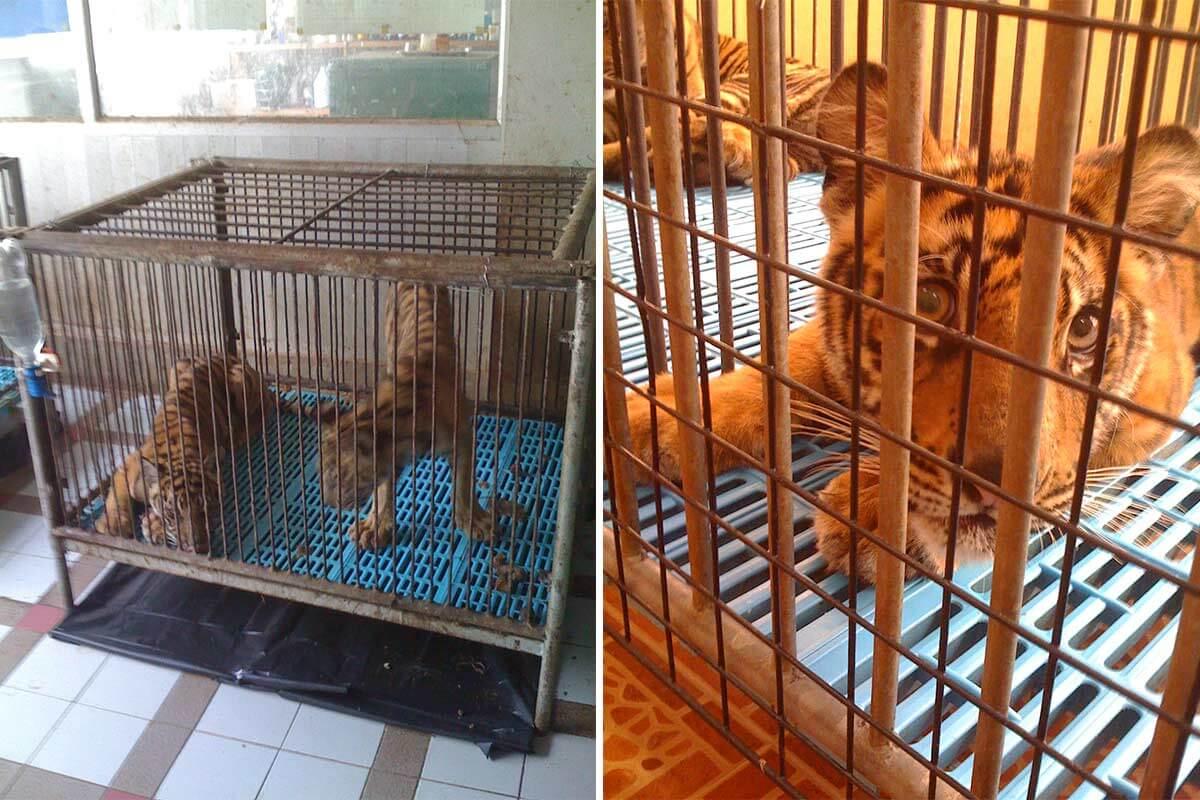 Dubiose Zucht von Tigern im thailändischen Sriracha-Zoo