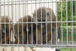 Zirkus Affen im Käfig