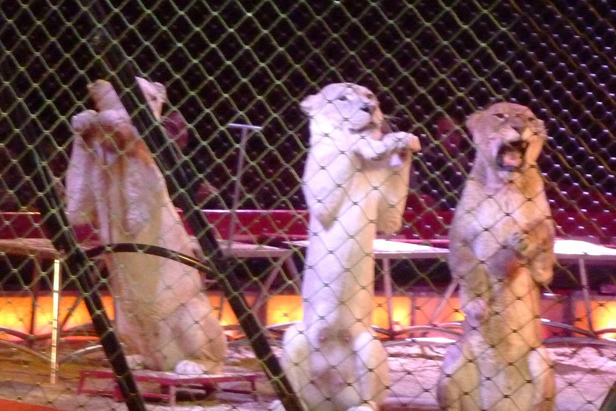 Löwen stehen auf den Hinterbeinen im Zirkus