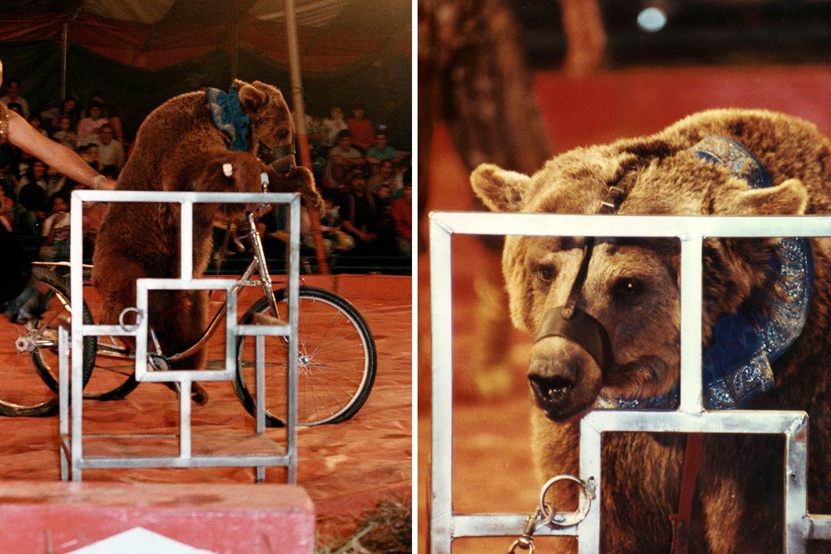 Bär fährt Fahrrad im Zirkus