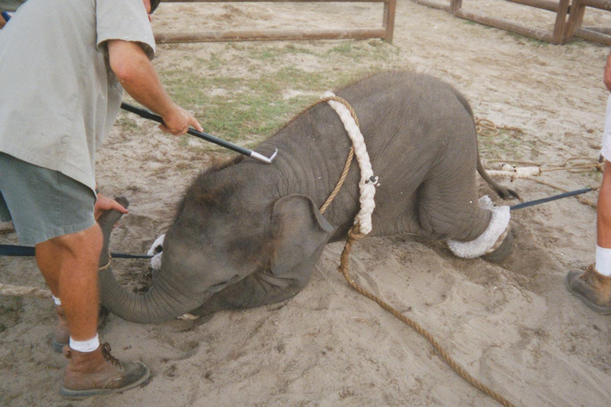Elefant wird Elefantenhaken zu Boden gedrückt