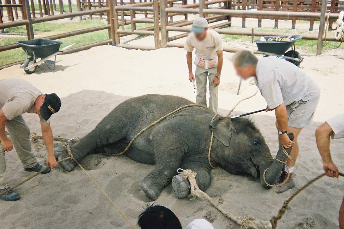 Gefesseltes Elefantenbaby beim Zirkus Training
