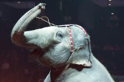 Elefant in der Zirkus Manage