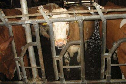 Kuh im Stall