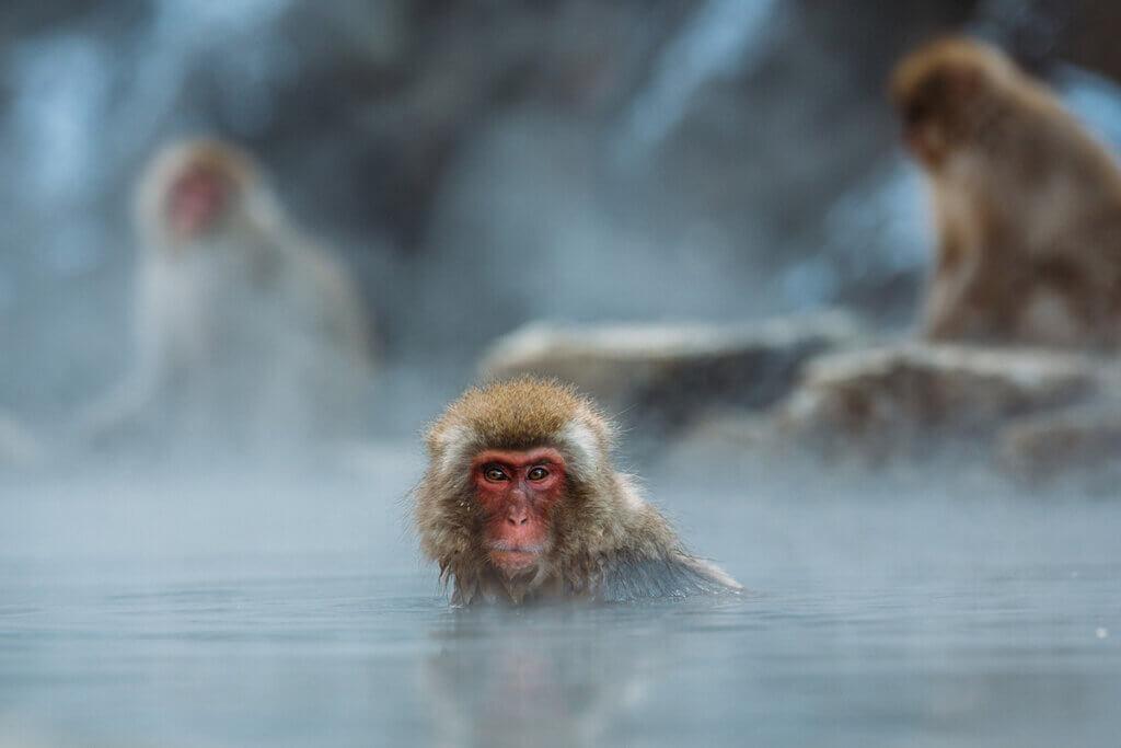 makake badet im heißem wasser und schaut in die kamera