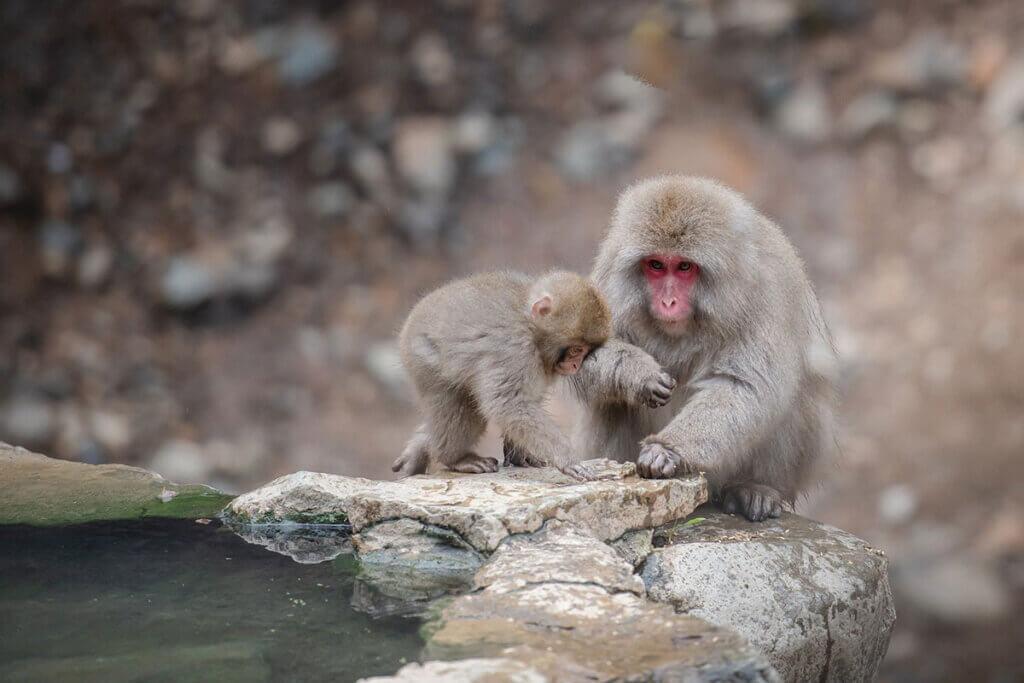 makaken mutter und kind