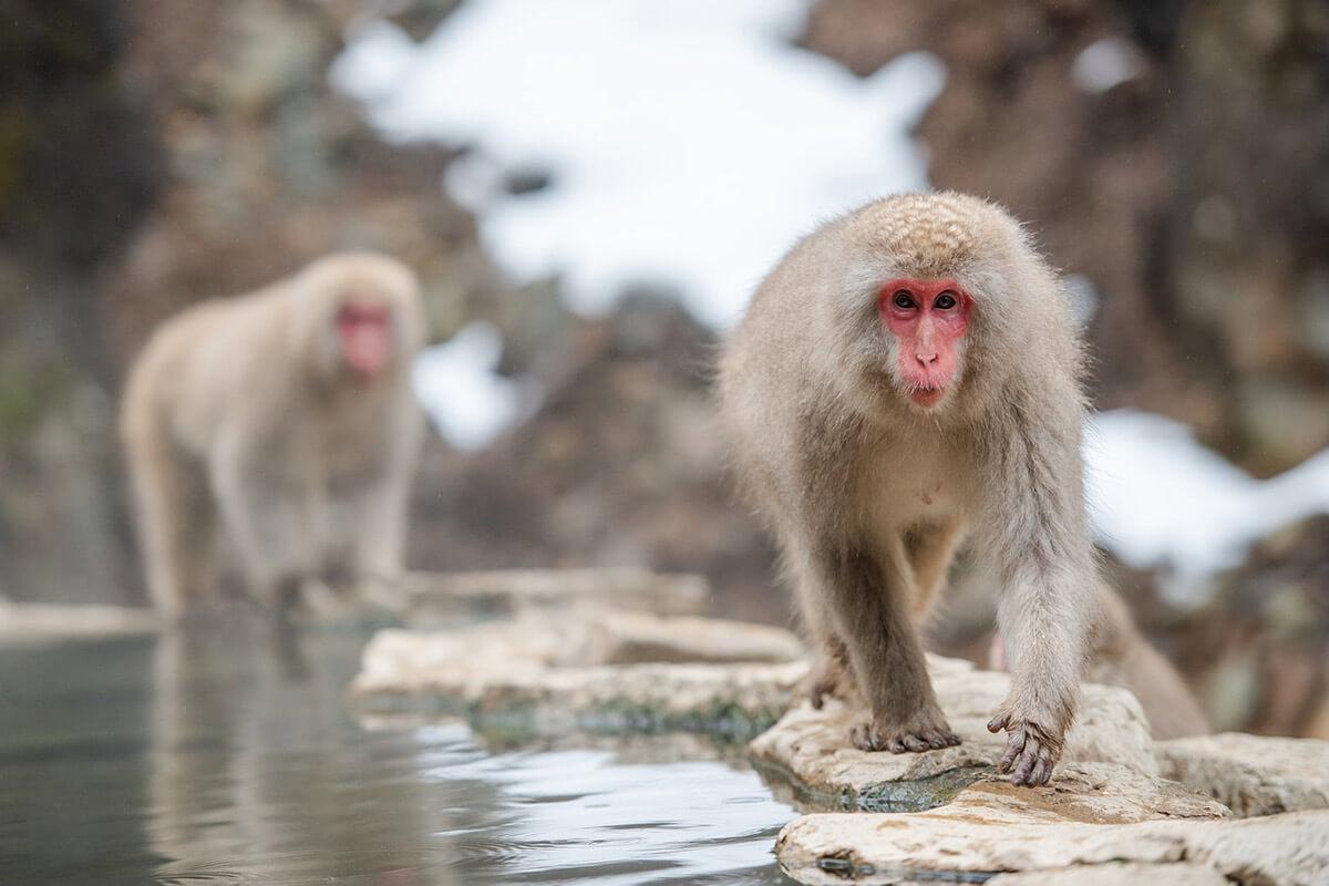 Der Makak – 7 faszinierende Fakten über Makaken