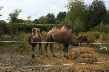 Kamele im abgesperrten Bereich bei Zirkus Monti