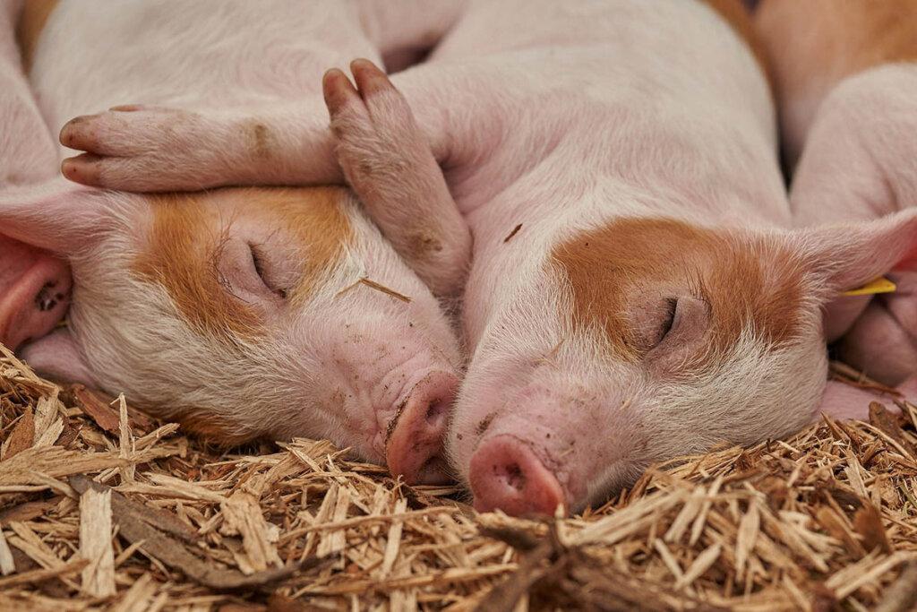 Zwei Schweine im Heu