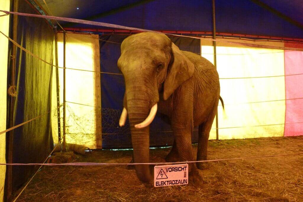 Elefant im Zelt hinter Elektrozaun bei Circus Luna