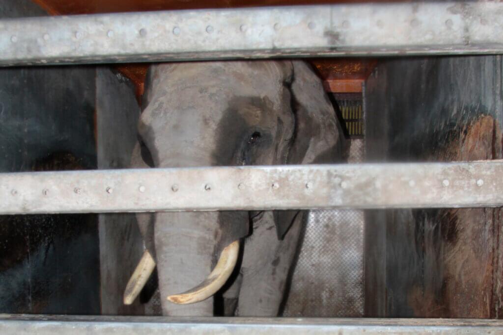 Elefant in Zirkuskaefig bei Circus Luna