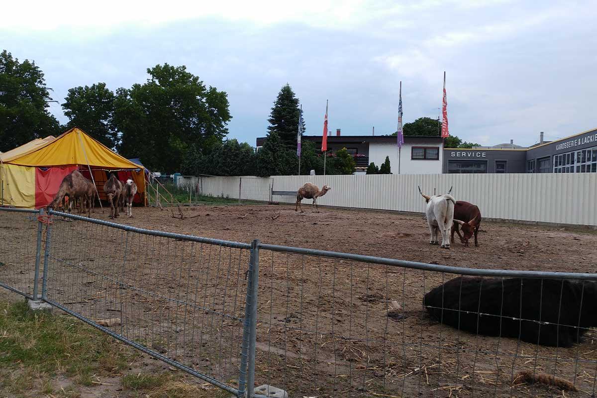 Unterbringung von Ochsen bei Circus Luna