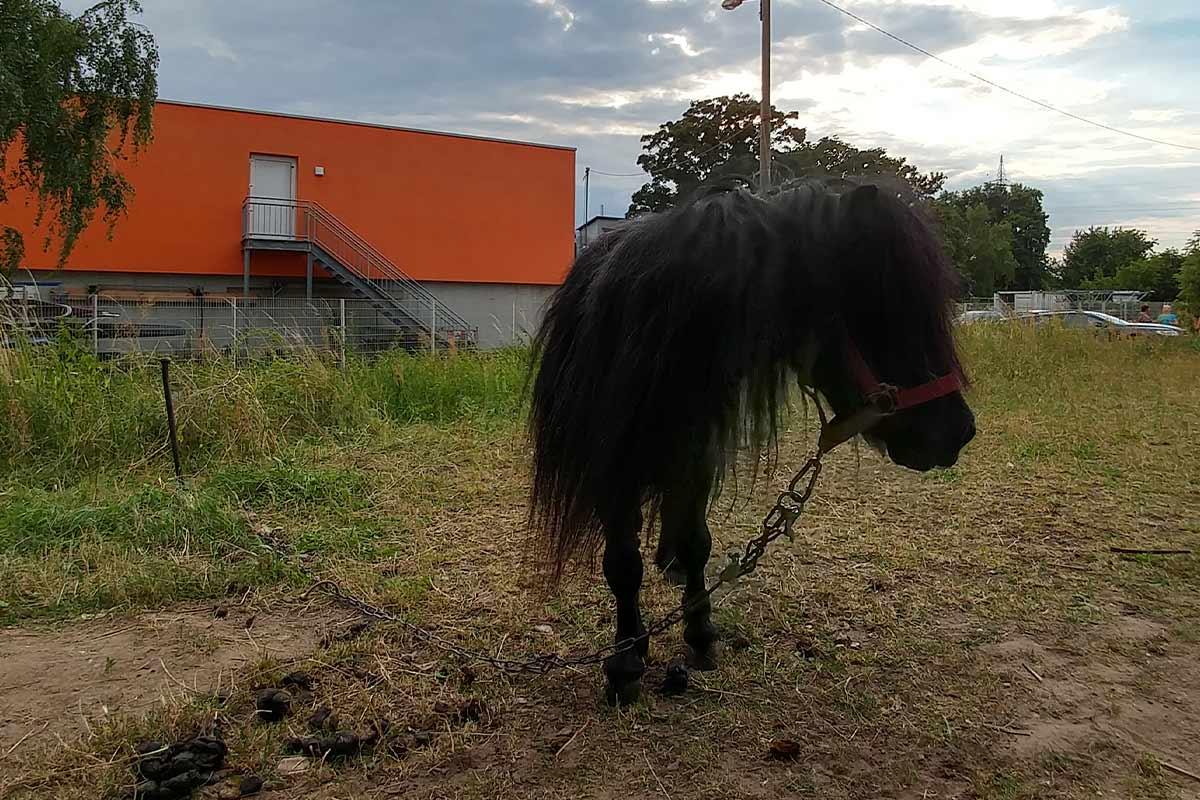 Angekettetes Pony auf der Wiese bei Circus Luna