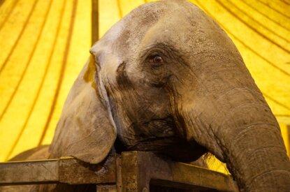 Elefant im Gehege vom Zirkus Voyage