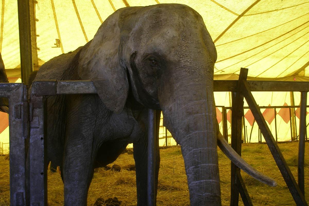 Circus Voyage: So sehr litt Elefant Mausi in ihren letzten Stunden