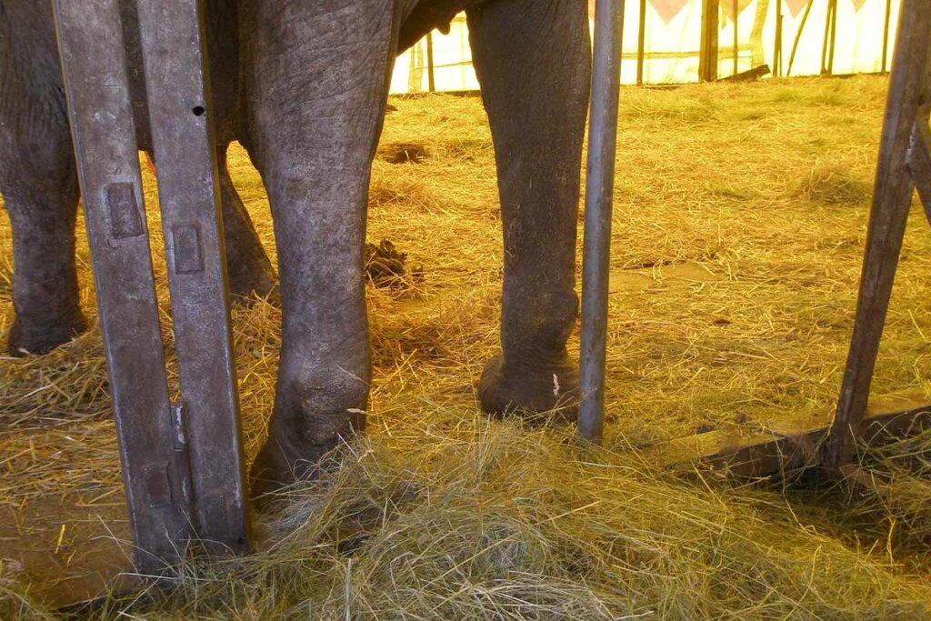 Elefantenkuh vom Zirkus mit Arthrose