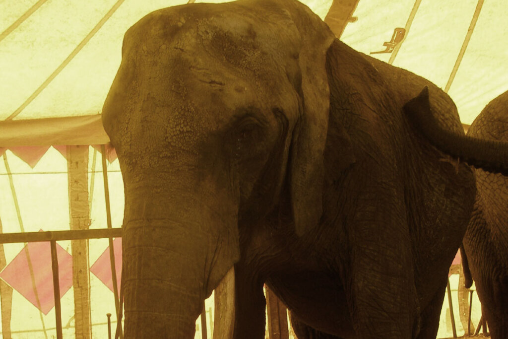 Elefantenkuh Mausi vom Zirkus Voyage