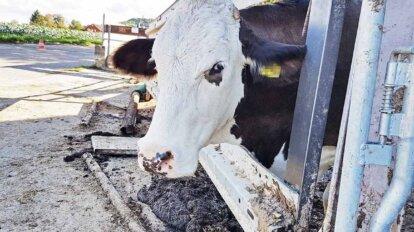 Kuh schaut aus einem Zaun