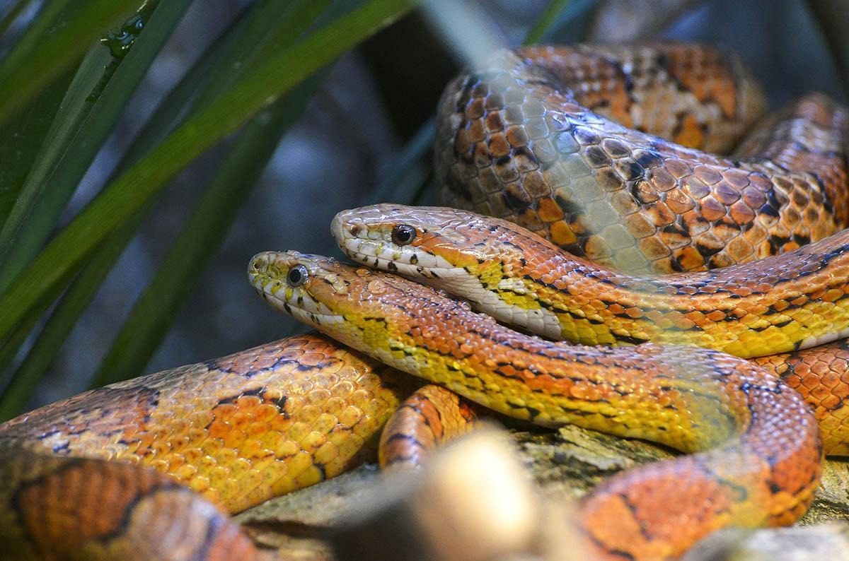 Schlangen als Haustiere: alle Infos zur Haltung von Schlangen