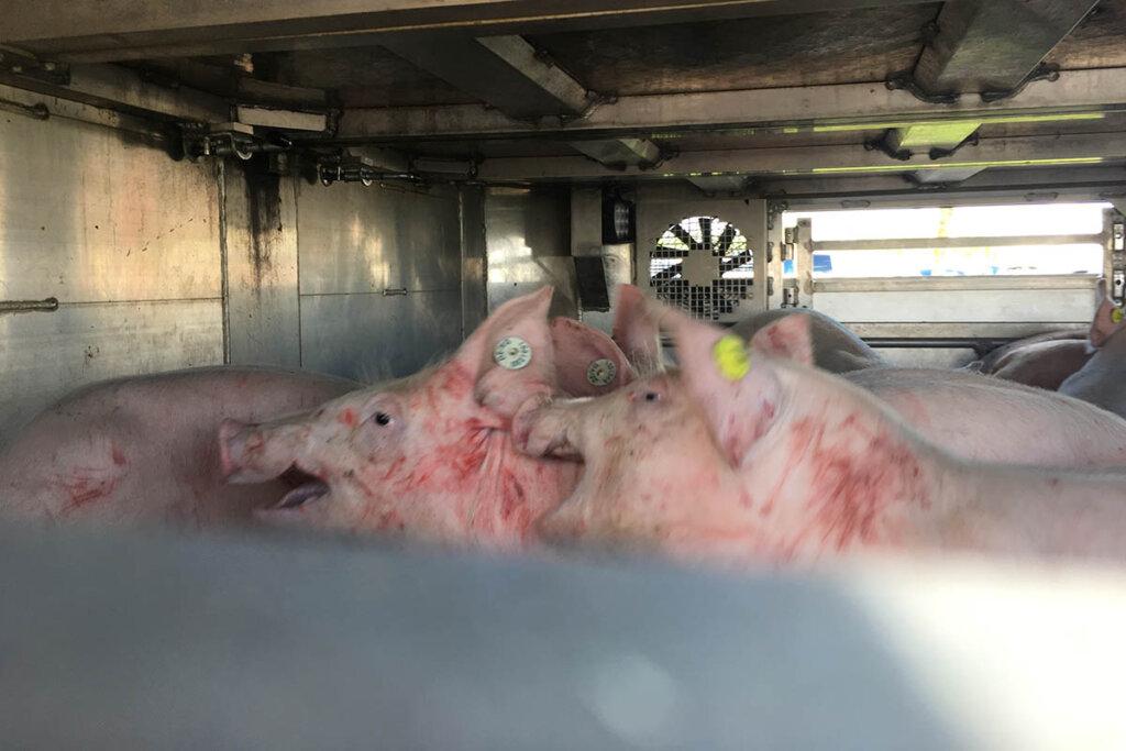 Schweine im Tiertransporter