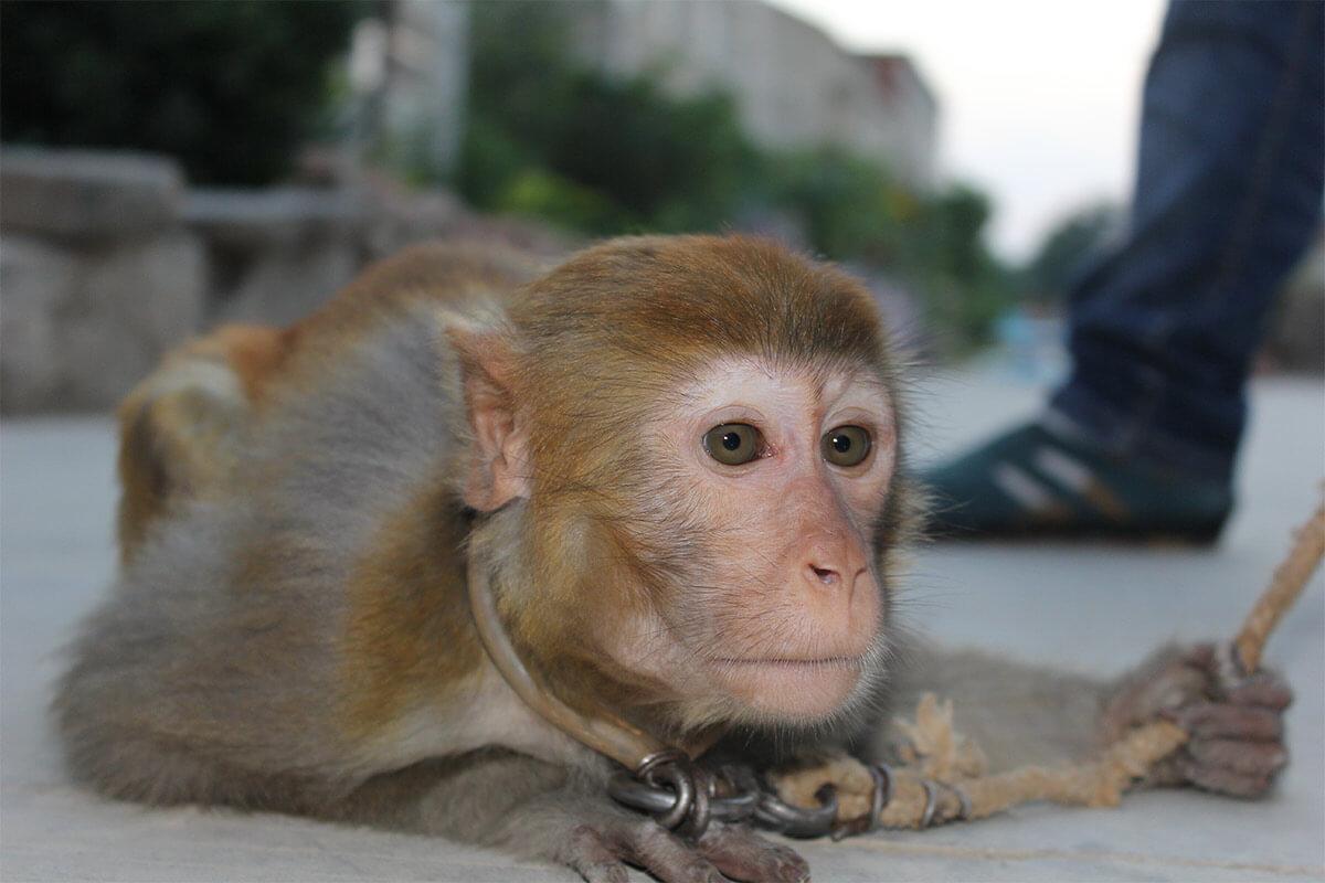 Affe an einer Leine angekettet liegt am Boden