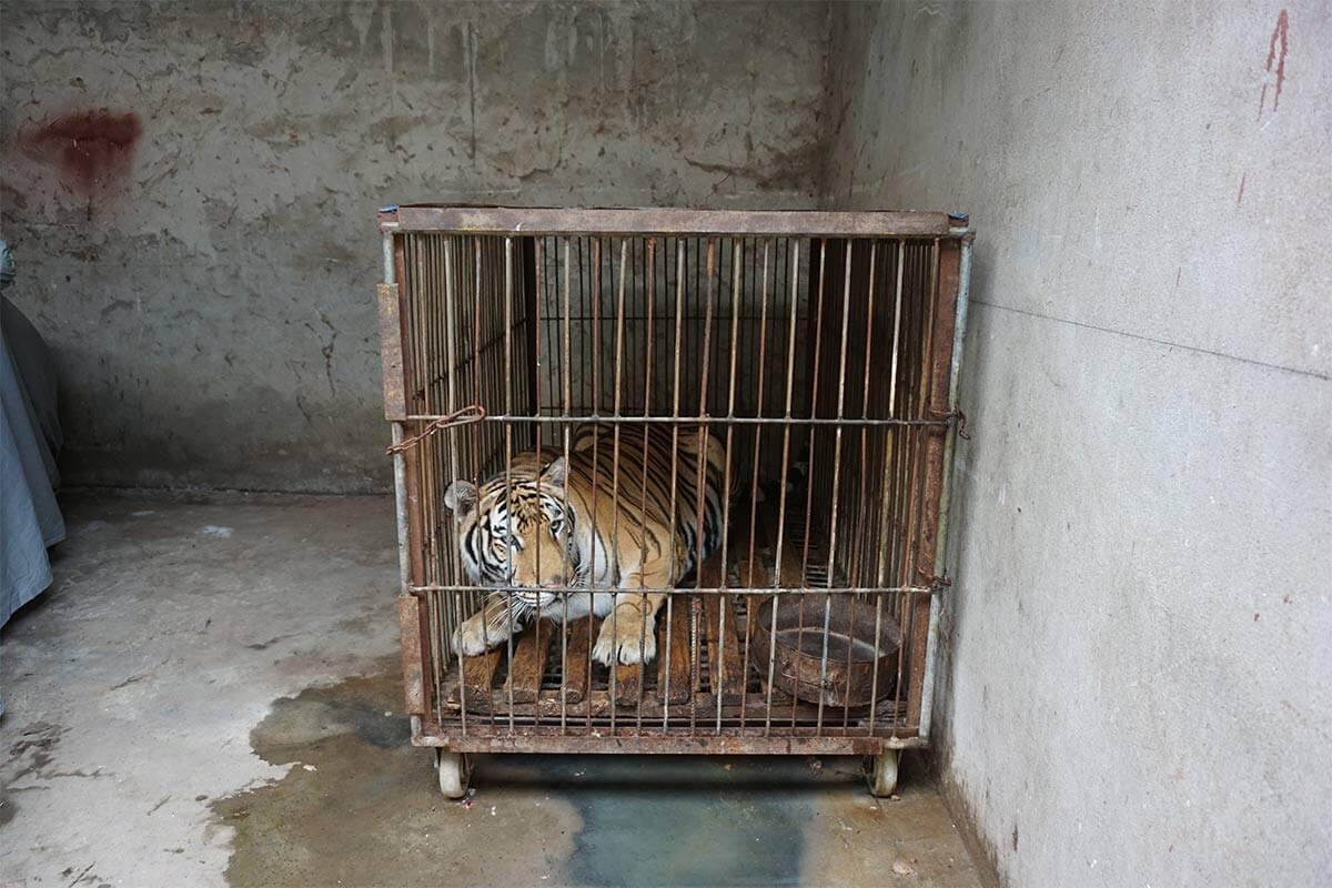 Tiger im kleinen Kaefig eingesperrt