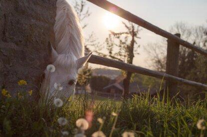 pferd im sonnenuntergang am weiden