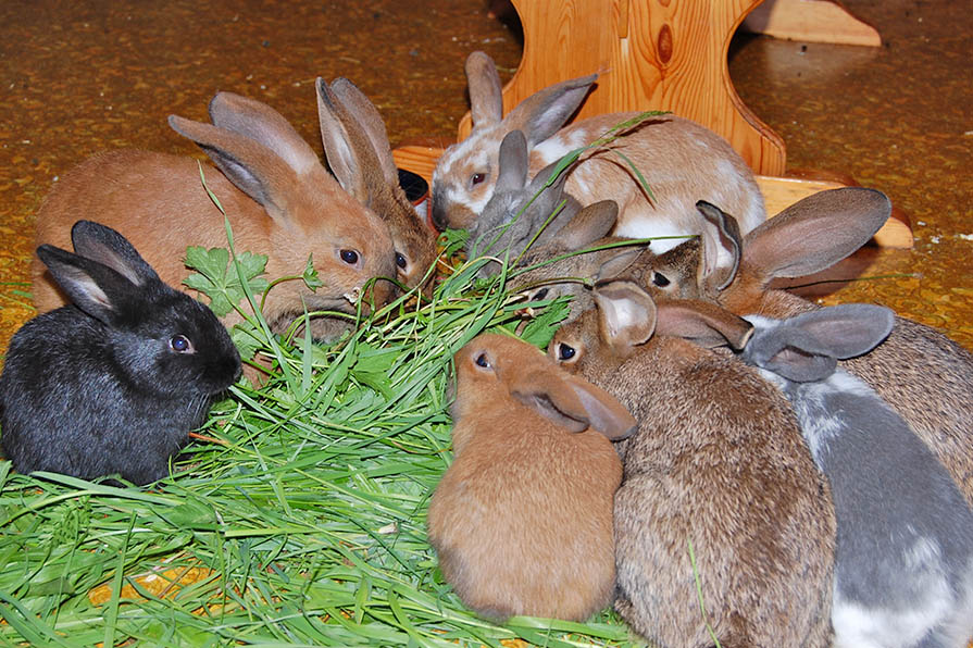 Kaninchen essen Gras