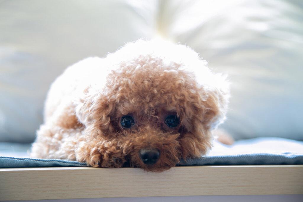 Teacup Hund