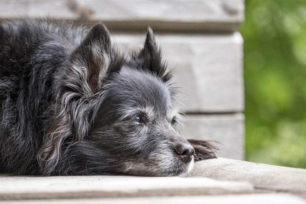 Alter Hund liegt auf einer Bank