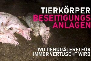 Tote Schweine im Mist in Tierkoerperbeseitigungsanlage