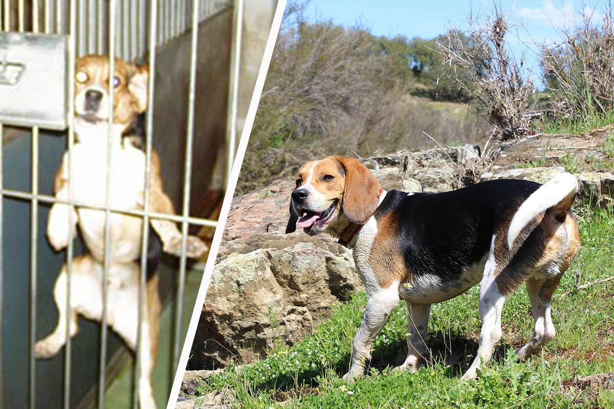 Beagle aus dem Labor retten: Helfen Sie Hunden in Tierversuchslaboren!