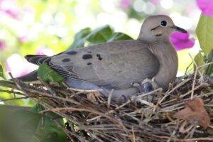 Taube mit Küken im Nest