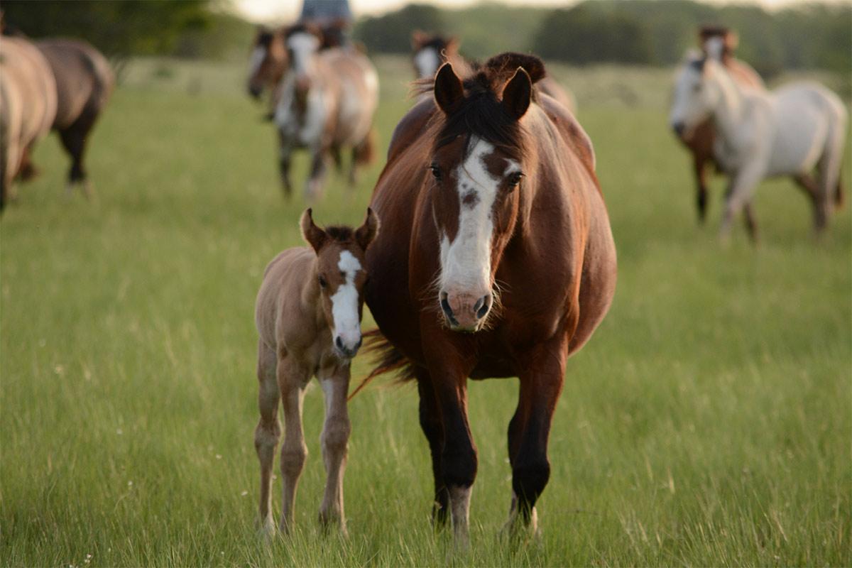 Blutfarmen in Südamerika: Das brutale Geschäft mit Pferdeblut