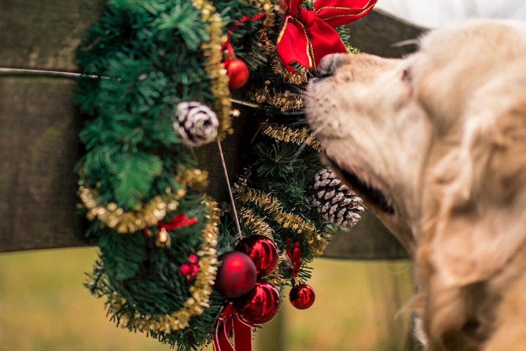 hund riecht an einem weihnachtskranz