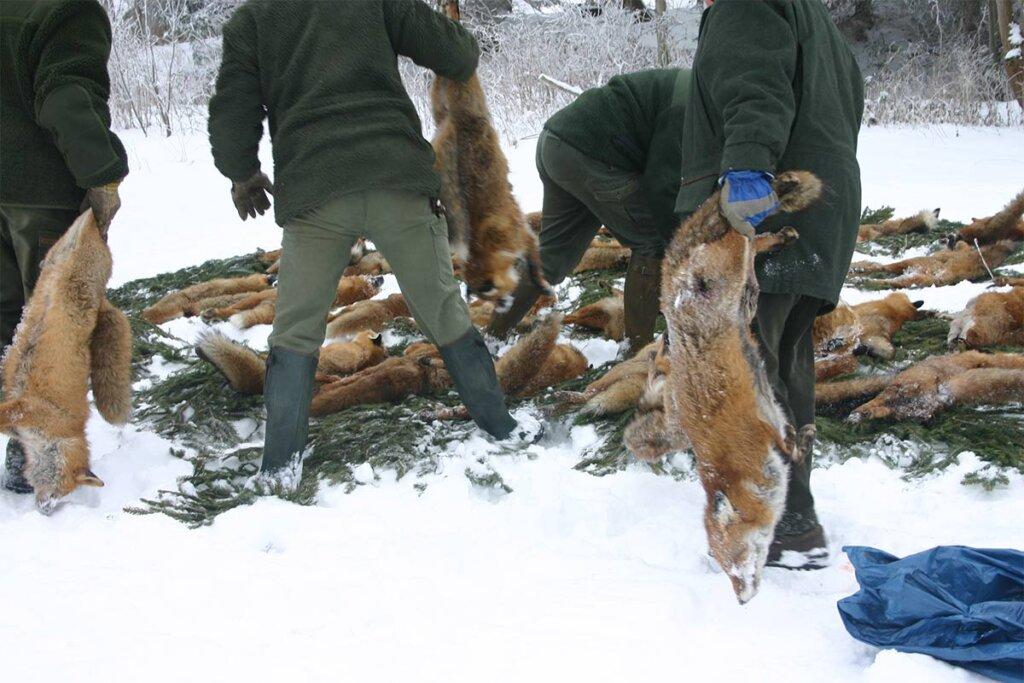 Jäger legen tote Füchse ab