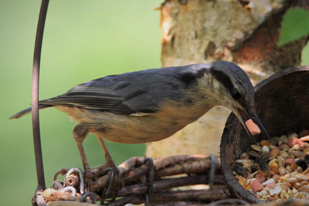 Kleiber frisst Vogelfutter