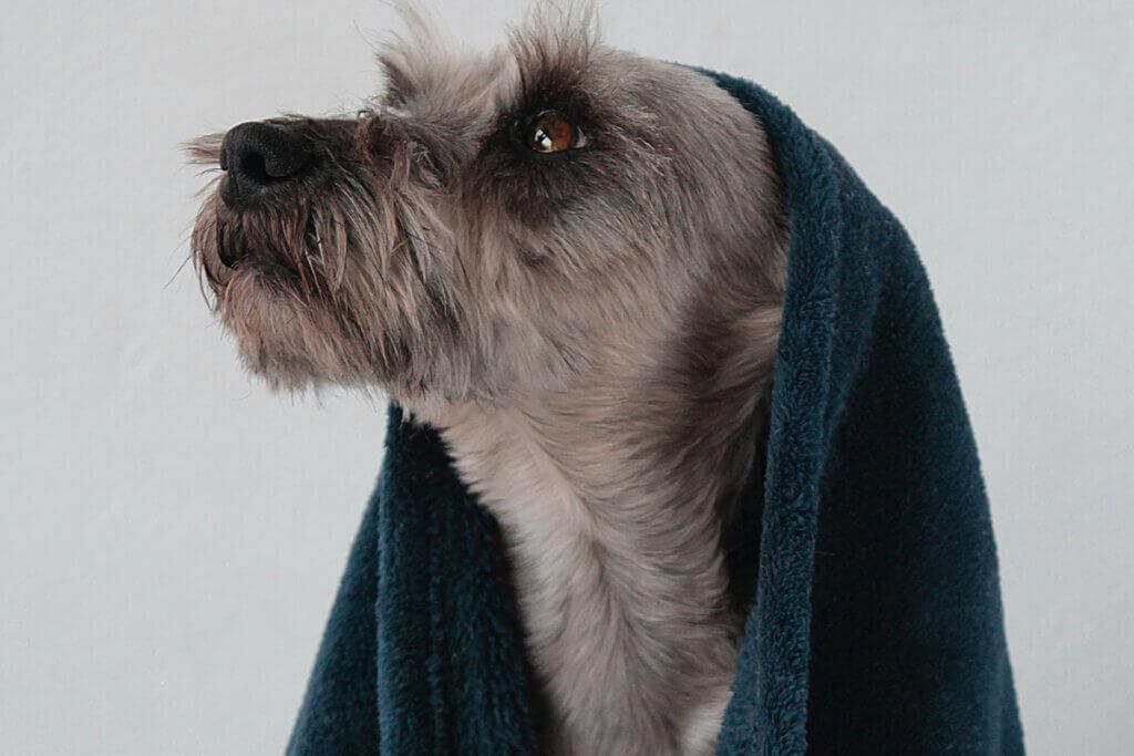Hund mit Handtuch auf dem Kopf