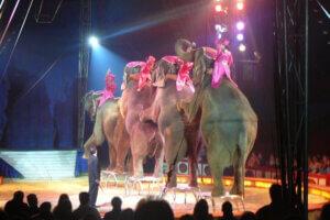 Elefanten machen Kunststuecke in der Manege vom Circus Krone