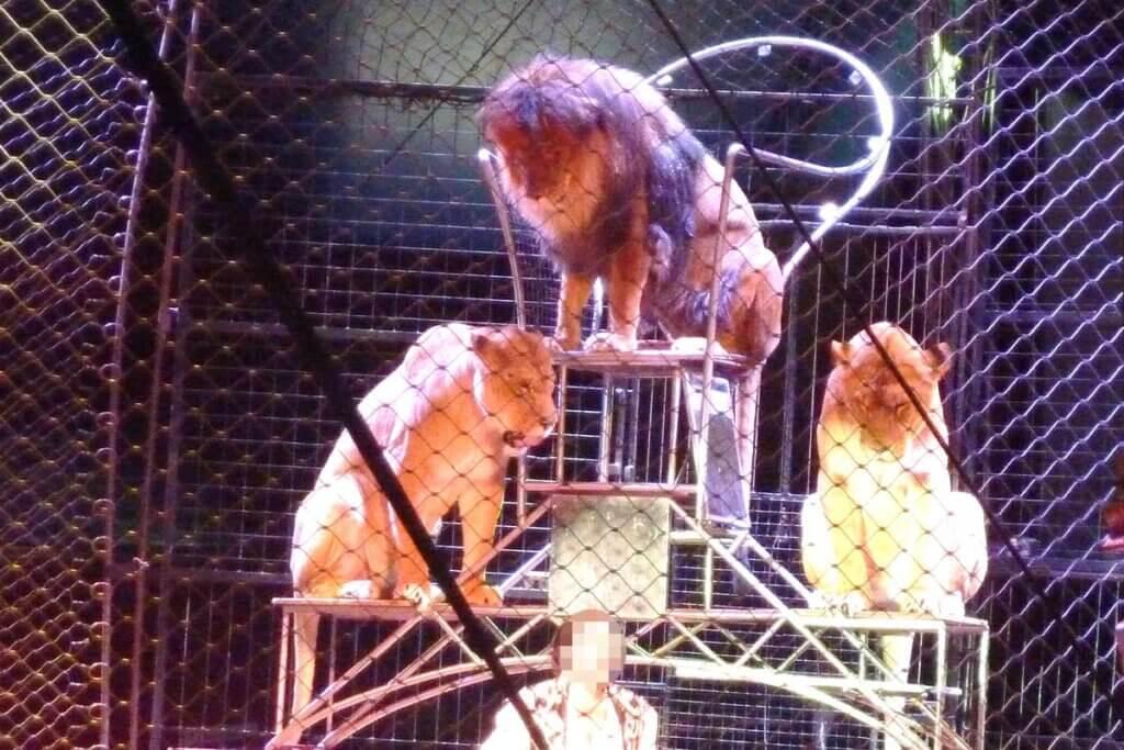 Dompteur mit Loewen in der Manege von Circus Krone