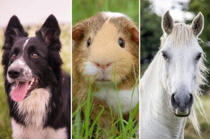 Collage Hund Meerschweinchen Pferd