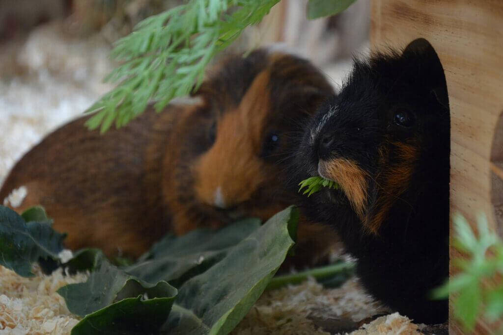 Meerschweinchen essen Salat