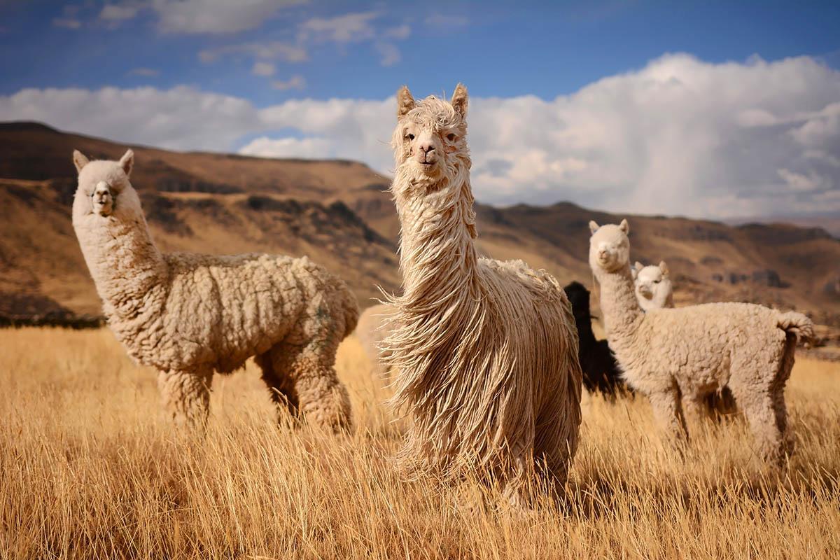 Diese Unternehmen verkaufen keine Alpaka-Wolle mehr – den Tieren zuliebe