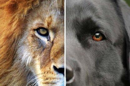 Collage Loewe und Hund