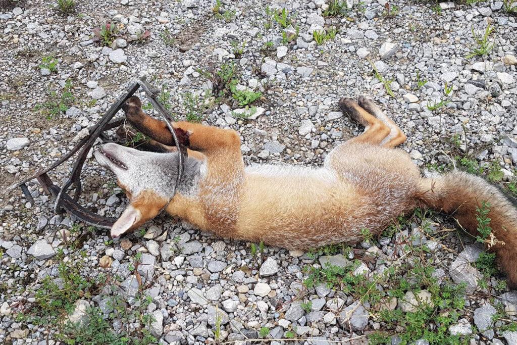 Toter Fuchs in Totschlagfalle